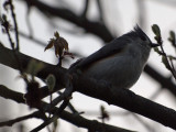 The tufted titmouse