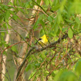 Goldfinch hidden in the tree.jpg