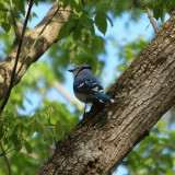 Another view of the bluejay