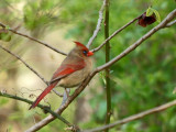The female northern cardinal