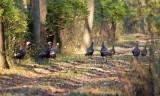 Wild Turkey on the trail