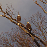 Approaching the bald eagles