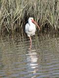 A white ibis, I think