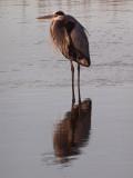 The great blue heron in the waterway