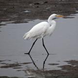 Profile of the egret