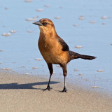 Is this a grackle?
