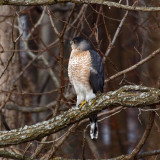 Cooper's hawk in the backyard