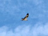 An Osprey