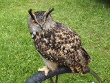 Unidentified owl at the Highland Games