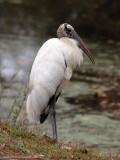 A wood stork, I think