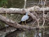 A little blue heron