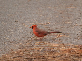 The cardinal in our path