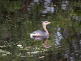 A pied-billed grebe I think