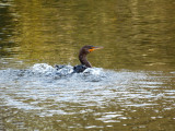A double crested cormorant, I thin