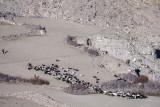 Herding sheep and goats - Yamchun
