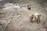 Herding sheep and goats - Zong