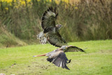 Buzzard and red kite