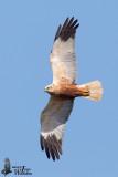 Adult male Western Marsh Harrier