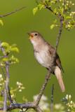 Adult Thrush Nightingale