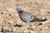 Adult Stock Dove (ssp.  oenas )