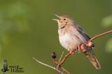 Adult River Warbler