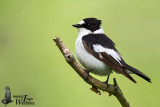 Adult male Collared Flycatcher