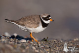 Adult male Common Ringed Plover (ssp.  hiaticula )