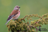 Adult male Common Linnet
