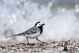 Adult male White Wagtail