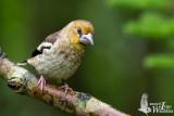 Juvenile male Hawfinch
