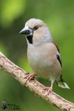Adult female Hawfinch in breeding plumage