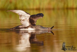 Adult Red-throated Loon in breeding plumage