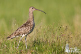 Adult Eurasian Curlew