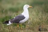 Adult Lesser Black-backed Gull (ssp. graellsii)