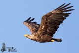 Subadult White-tailed Eagle
