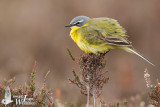 Adult male Western Yellow Wagtail