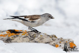 Adult White-winged Snowfinch assuming breeding plumage