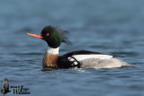Adult male Red-breasted Merganser in breeding plumage