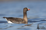 Second cy Lesser White-fronted Goose