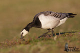 Adult Barnacle Goose
