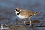 Adult male Little Ringed Plover (ssp.  curonicus ) in breeding plumage