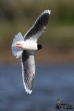 Adult Little Gull in breeding plumage