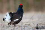 Adult (second cy) Black Grouse in breeding plumage (ssp.  tetrix )