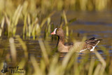 Adult Lesser White-fronted Goose