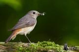 Adult female Common Redstart