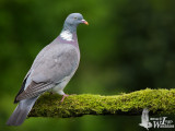 Adult Common Wood Pigeon