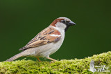 Adult male House Sparrow