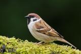 Adult Eurasian Tree Sparrow