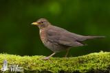 Adult female Common Blackbird