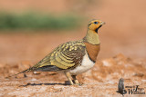 Adult male Pin-tailed Sandgrouse